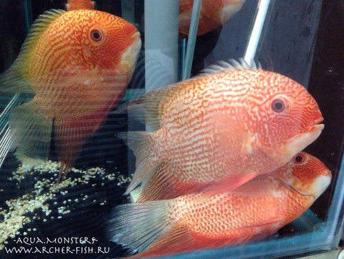 Heros severum (Red spots severum)Great show size! 18-20 см