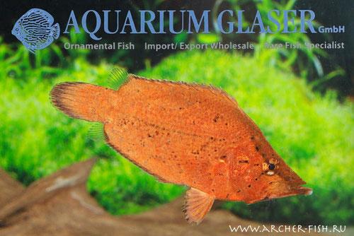 270005 Monocirrhus polyacanthus
