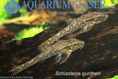 293173 Schizolecis (Pseudootocinclus) guntheri