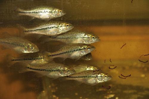 Micropterus salmoides в аквариуме.