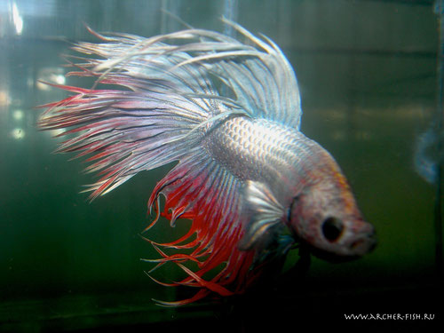 390223 Betta splendens DRAGON SCALE CROWN TAIL