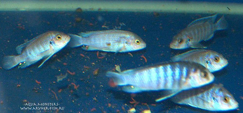 Labidochromis chisumulae. Фото . Е. Трухин