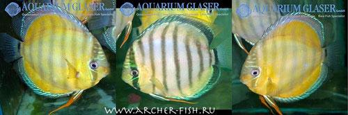 732605 Discus Gold Xingu