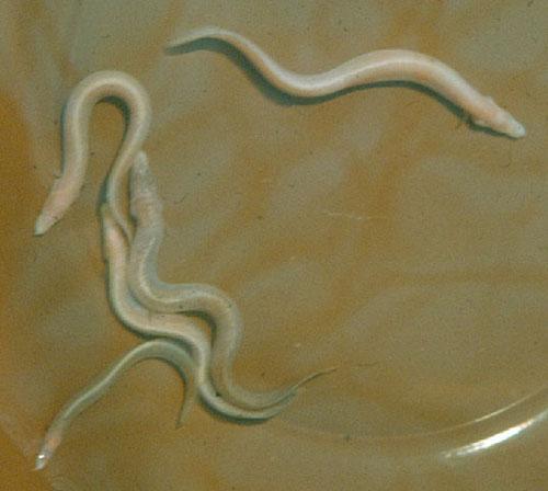 Mastacembelus brichardti, Blind spiny eel