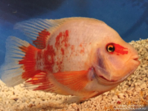 Parrot Cichlids (white + red body)