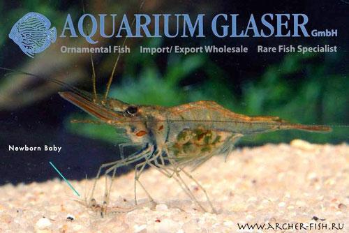 Aquarium Glaser, август самка-с-родившимся-малышом