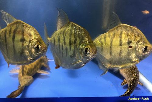 Metynnis fasciatus (Полосатый/тигровый метиннис) SHOW