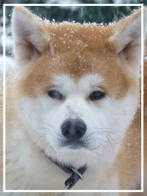 Japan Akita, Rüde, Rosia Kara Eikan, Hund, Hundezucht, Schnee, Winter