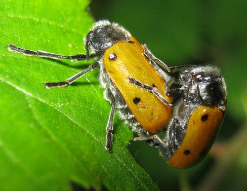 Lachnaia italica