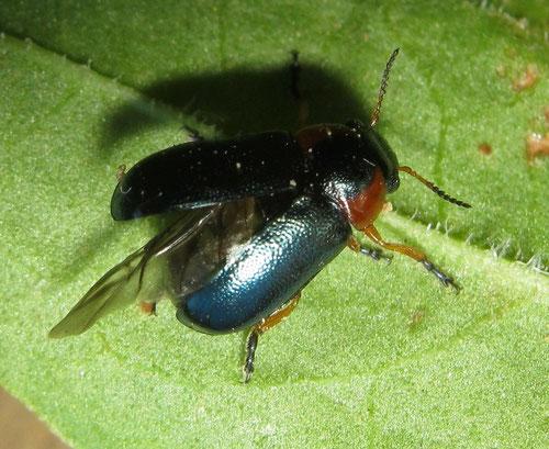 Smaragdina affinis manicata