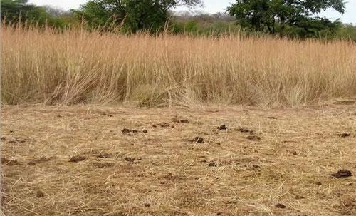 In questa foto si vede l'effetto del calpestamento di una mandria di bovini.