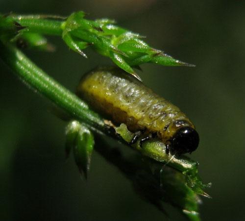 Larva di Crioceris asparagi