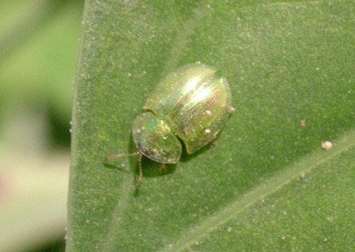 Cassida hemisphaerica