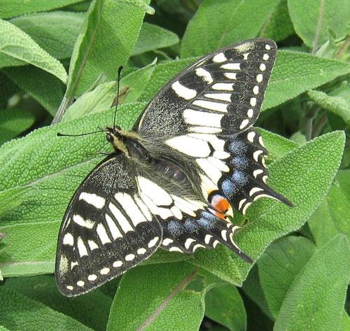 Papilio machaon che prende il sole sulla salvia