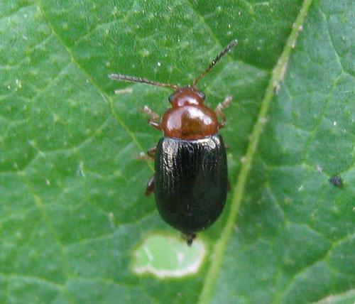 Podagrica fuscicornis