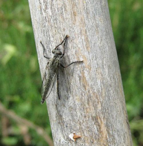Asilidae posato su una canna in attesa di prede