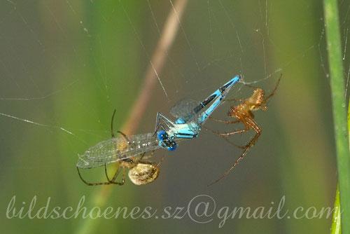 """Zwei Spinnen """"verpacken"""" eine Libelle"""