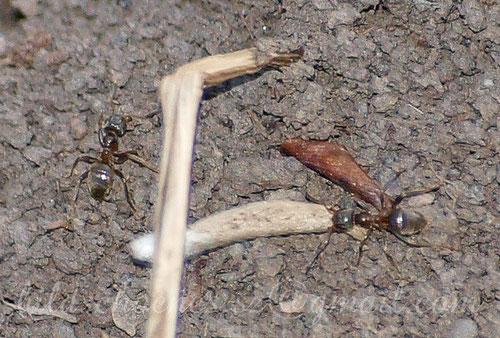 Ameise zieht Bläulingslarve aus ihrem Bau