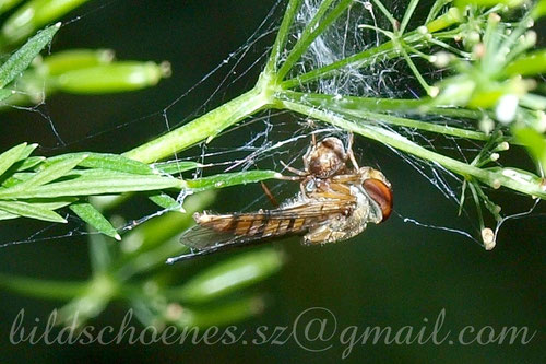 kleine Spinne mit großer Beute