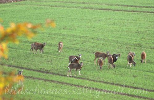 Mufflons auf einem Feld nahe Salzgitter