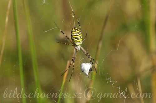 Wespenspinne mit eingesponnener Beute