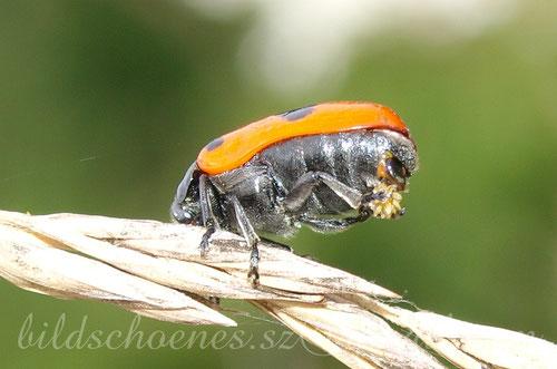 Ameisensackkäfer bei der Eiablage
