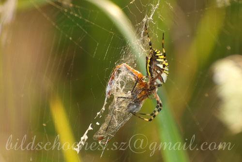 ...und gefressen werden. Wespenspinne mit Libelle als Beute