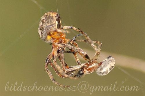 Machtkampf unter Spinnen