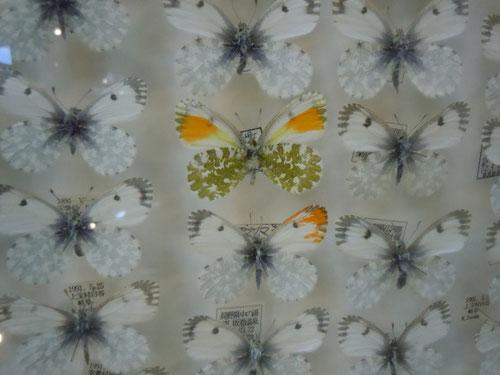 クモマツマキチョウ、中央の2個体は珍しい雄雌両性型