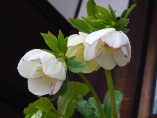 鉢植えのクリスマスローズ・白花糸覆輪