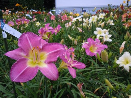 ラベンダー系の花は、特に色が冴えていました