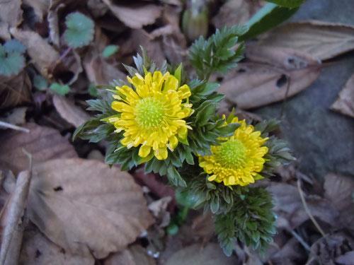 庭に偶然さいた実生花、「爪折笠」に似る