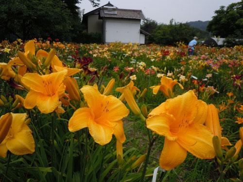 花盛りのヘメロカリス園の様子