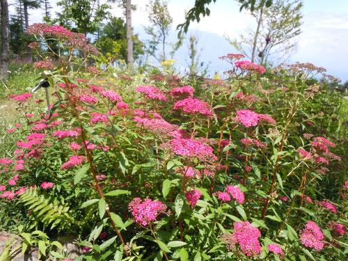 鮮やかな色に咲くシモツケの花