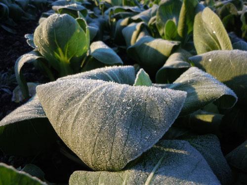 霜に覆われたチンゲンサイ