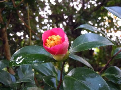 桃赤色の極小輪花
