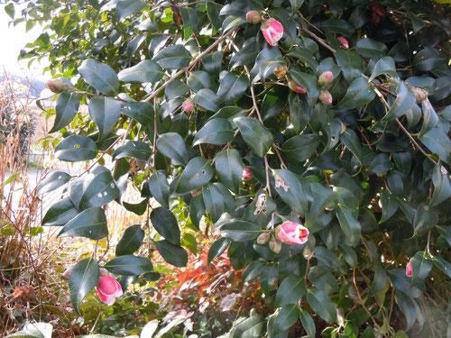 やや枝垂れ気味な木姿の「玉の浦」