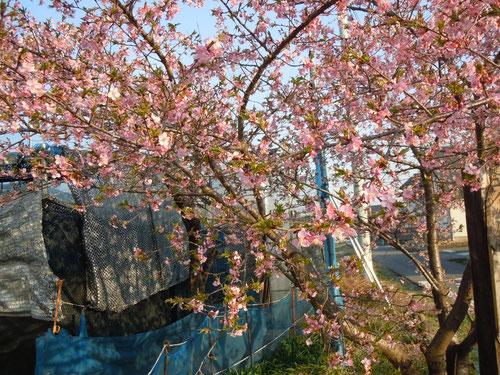 ハウス入り口付近の河津桜