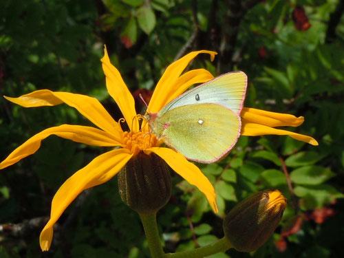 マルバダケブキの花で吸蜜するミヤマモンキチョウの♀