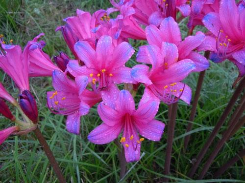 「華ぎつね」オリジナル新花