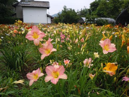 「梅雨桜」オリジナル品種