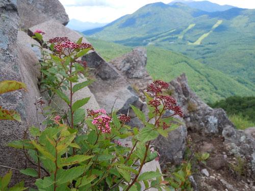 岩間に咲くシモツケ