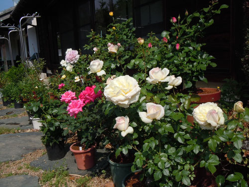 鉢植えのバラが次々と開花