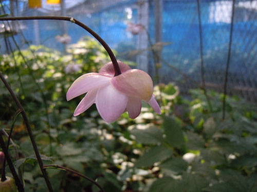 赤坂氏オリジナルのこれまでに無いピンク系の花