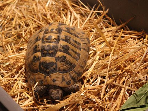 Griechische Landschildkröte, Foto: Roman Lechner