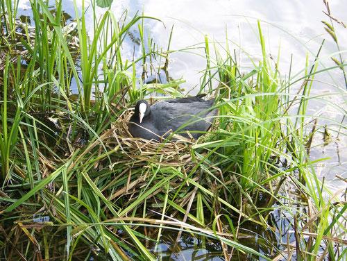 Foulque sur son nid, étang de la Maladrerie