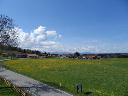 Löwenzahnblüte an der B 17 Richtung Füssen 26 km.