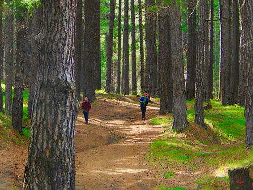 hohe Kiefern sorgen wür angenehmes Waldklima und einen weichen Boden
