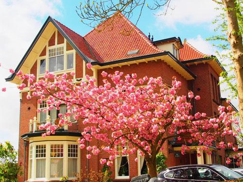 die Haus-Magnolie in voller Blüte