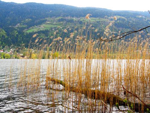 Schilf-Partie am Ossiacher See
